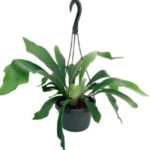 Staghorn Fern — 6″ Hanging Plant — Exotic House Plant
