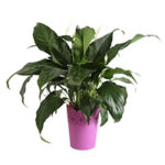 Costa Farms Live Indoor 15in. Peace Lily, Decor Pot